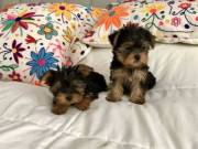 Intelligent teacup Yorkie Puppies Boy & Girl for re-homing (917) 524-7859