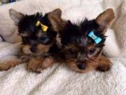 Beautiful Male and Female Yorkie Puppies