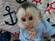adorable male and female baby capuchin monkeys