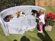 PUREBRED full blooded Beagle puppies