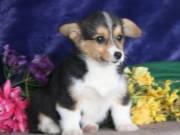 Pembroke Welsh Corgi Puppies Text :612-294-0250