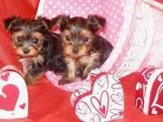 Intelligent And Playful Yorkie Puppies Boy & Girl for sale. (917) 524-7859