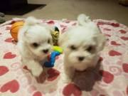 2 Smart Maltese babies,boy&girl $250 tel(619)3293739