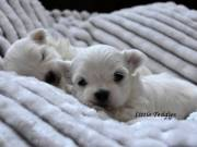 Two Maltese pups available boy&girl cost $250 tel(619)3293739