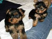 Healthy Home Trained T-Cup Yorkie pups for adoption.Text Me At (651) 529-9996