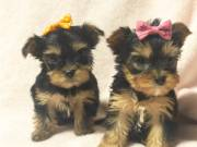 Teacup Yorkie Puppies for sale Text (651) 538-0802