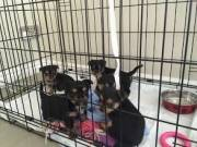 Teacup Yorkie Puppies for sale Text (6788847086