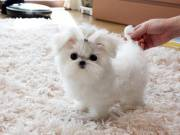 T cup Maltese Puppies  For Adoption