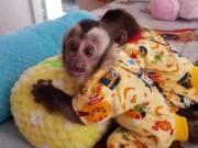 Breathtaking Capuchin Monkey for Re-homing Call/Text 737-212-8004