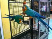 Young and Friendly Macaws For sale