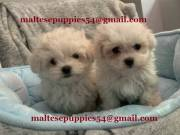 Cute Maltese puppies ready for a new and loving home