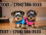 Yorkie puppies TEXT US NOW ON   (704) 386-3533