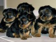 AKC YORKIE PUPPIES AVAILABLE NOW