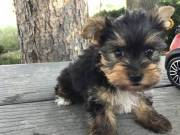 AKC Yorkshire Terrier Text (551) 268-0768