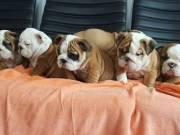 Cute English bulldogs puppies