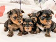 teacup Yorkie puppies for new homes