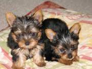Affectionate and Affordable yorkie Puppies