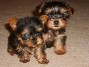 Affectionate And Intelligent Yorkie Pups