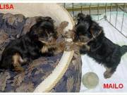 Affordable Micro TeaCup Yorkie Puppies