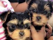 Two Healthy T-Cup Yorkie Pups for sale NOW! cost 250 text (740) 302-3624