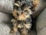Female Yorkshire Terriers