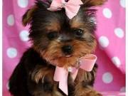adorable tea cup yorkie puppies ready to go