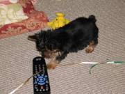 Male And Female Yorkie Terrier Puppies For Any Loving Home