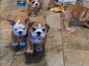 English Bulldog Puppies Ready to go Text now +1(520)457-0903