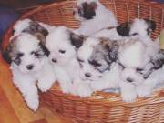 teacup shitzus puppies for sale near me