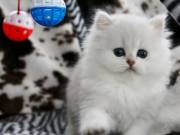 Extremely Charming Persian Kittens for sale FOR ADOPTION  402-751-0743