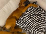 Boxer Puppies TEXT (704) 386-3533