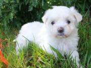 Pure bred small Maltese puppies text/call (443) 563-1239