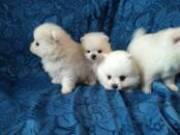 charming babies tea cup Pomeranian puppies ready to go text (720)5743489