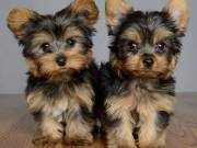 Yorkshire puppies are home raised and they are ready
