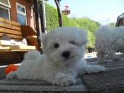 nice Maltese puppy male and female.
