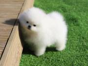 Pomeranian Puppies so sweet and aborable..