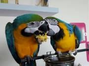 Blue And Gold Macaw's (408) 444-7132
