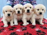 Golden Retriever Puppies Available Text us @ 720-663-8237