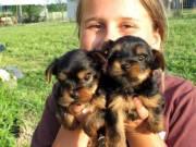 Female and male Yorkie pups needing loving home((715) 248-2965