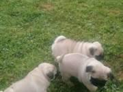 cute adorable pug puppy