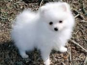 Adorable POMERANIAN Puppies.