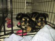 Yorkie Pups Looking for Love & Home (770) 824-0194