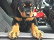 Adorable rottweiler puppies ready to go