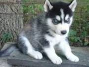 Charming Siberian Husky Puppies For Adoption.Text(916) 347-0810)