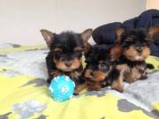 Teacup yorkie puppies for rehoming Text :(551)-888-3483