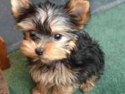 Yorkie puppies - 400 each.  Text (775) 773-5998