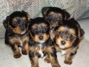 Yorkie puppies 12Wk Nd loving home