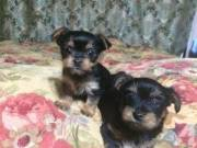 GORGEOUS MALE AND FEMALE YORKIE PUPPIES TEXT(336) 999-0372