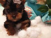 Purebred and healthy Yorkie puppies so cute and adorable.