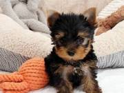 healthy Yorkie puppies so cute and adorable.